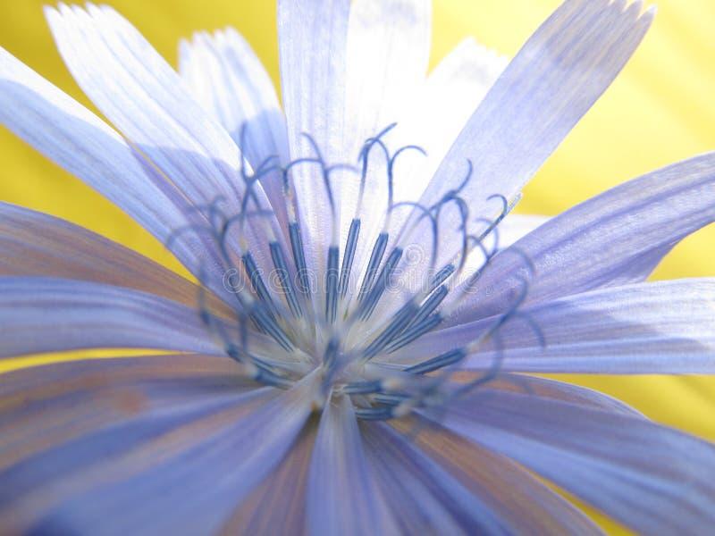 Flor azul bonita da planta de chicória comum selvagem fotografia de stock royalty free