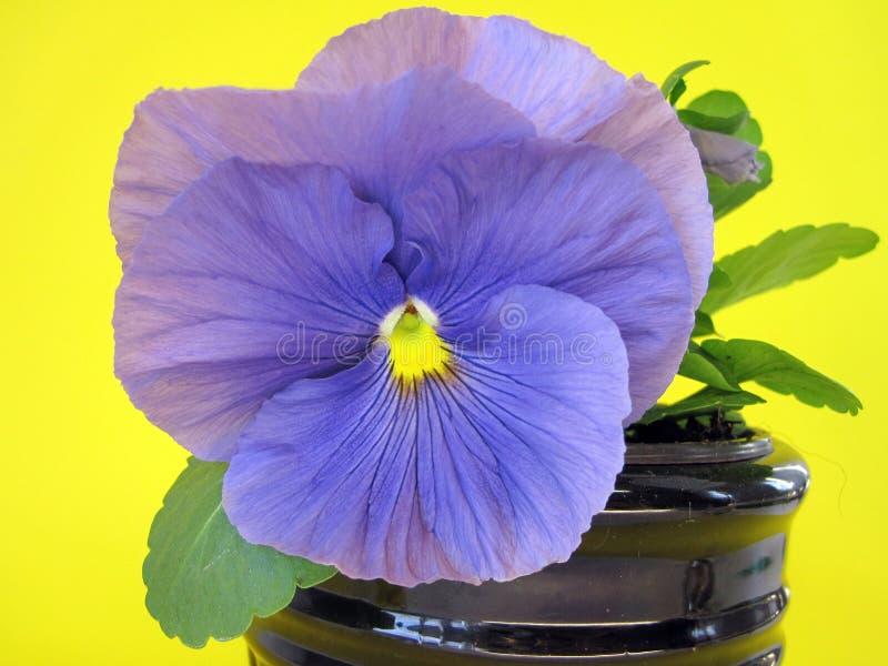 Flor azul bonita do amor perfeito, Lituânia imagens de stock
