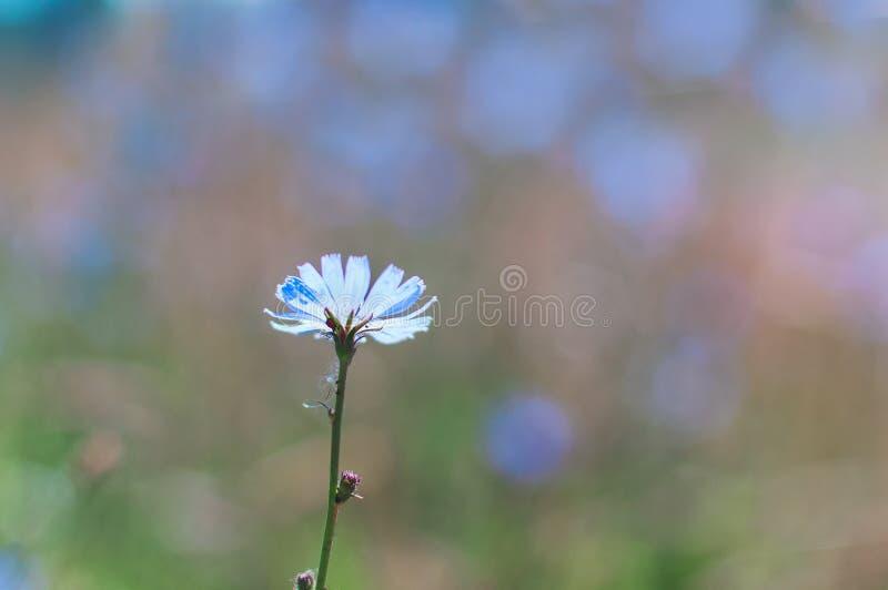 Flor azul bonita do campo no fundo do borrão chicória fotografia de stock royalty free