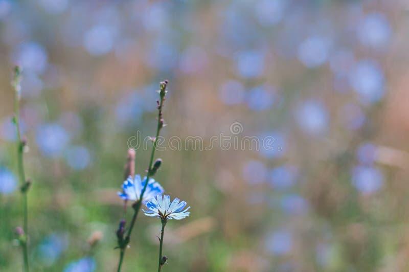 Flor azul bonita do campo no fundo do borrão chicória fotos de stock
