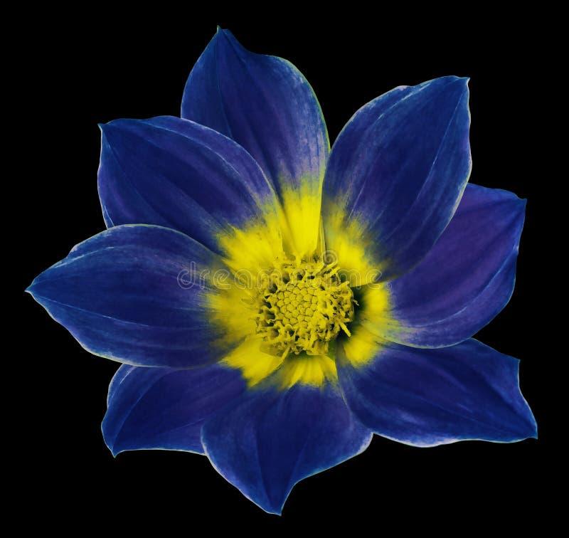 A flor azul brilhante de uma dália no preto isolou o fundo com trajeto de grampeamento Floresça para o projeto, textura, cartão,  fotos de stock