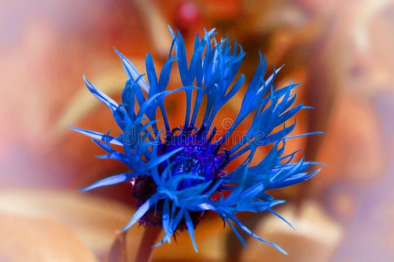 Flor azul brilhante distorcido no fundo borrado alaranjado foto de stock royalty free