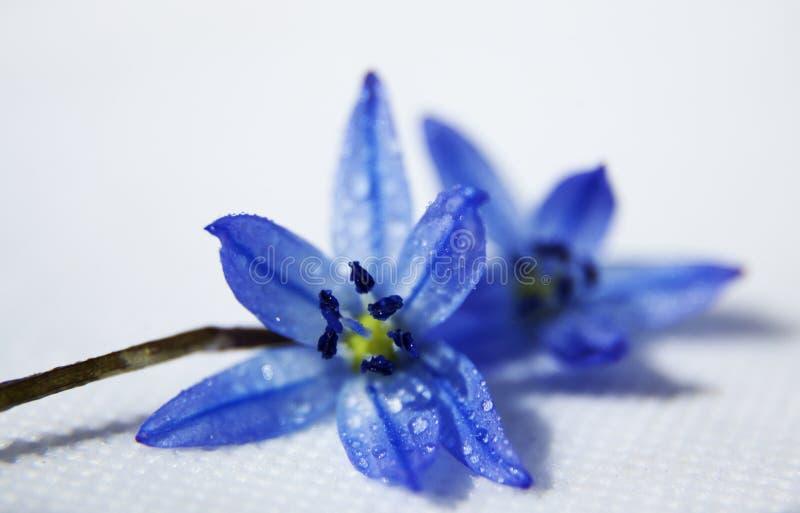 Flor azul com gotas da água no estúdio branco fotografia de stock royalty free