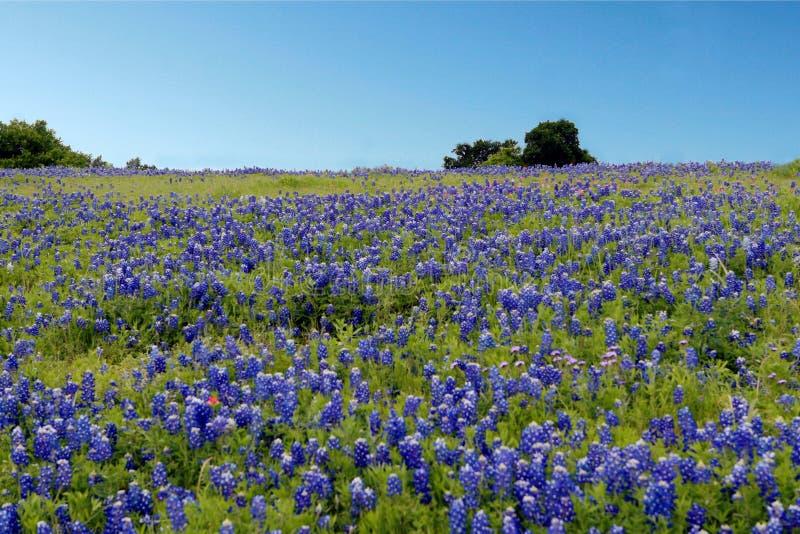 Flor azul da capota fotos de stock royalty free