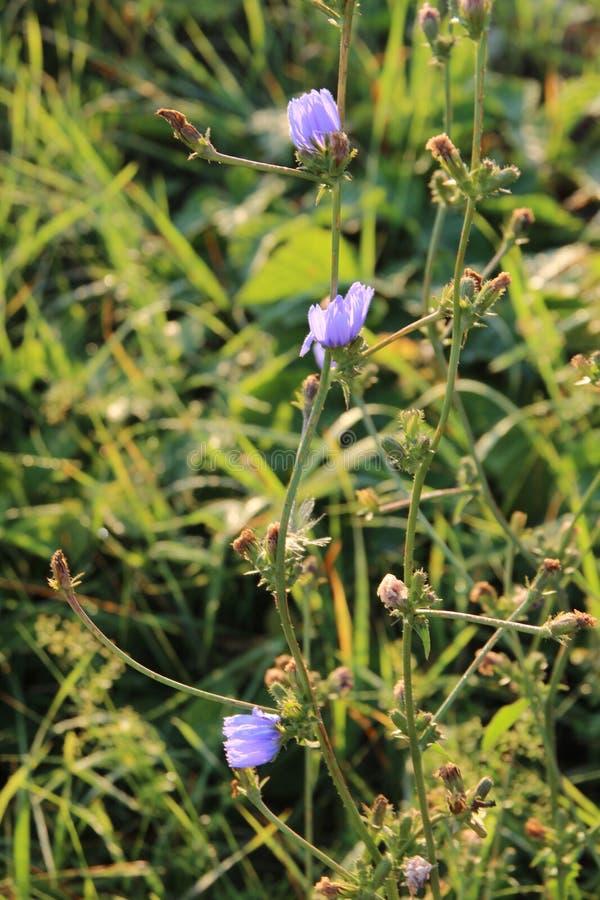 Flor azul da chicória fotografia de stock