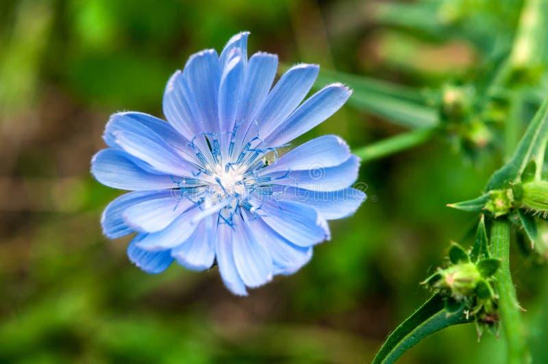 Flor azul da chicória em um fundo do verde borrado imagens de stock