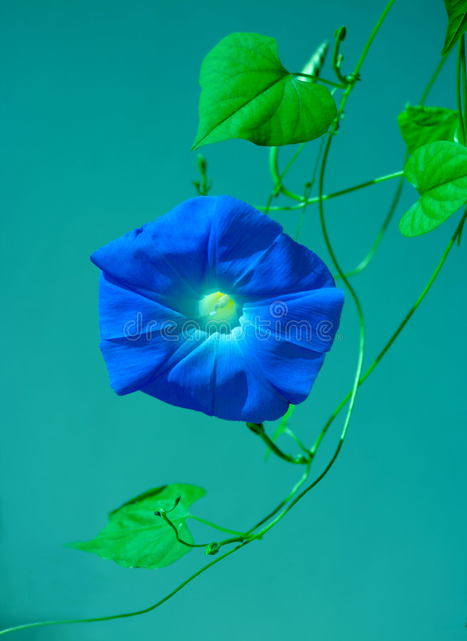 Flor azul da glória de manhã na videira imagens de stock royalty free
