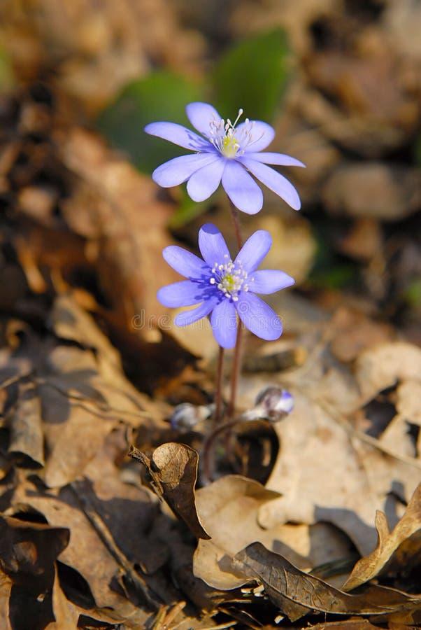 Flor azul da mola fotos de stock