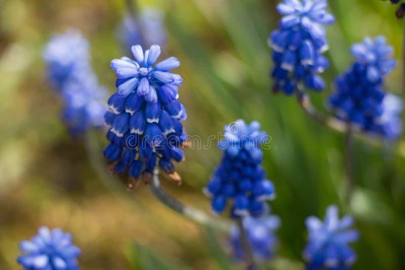 Flor azul da mola do jacinto de uva fotografia de stock