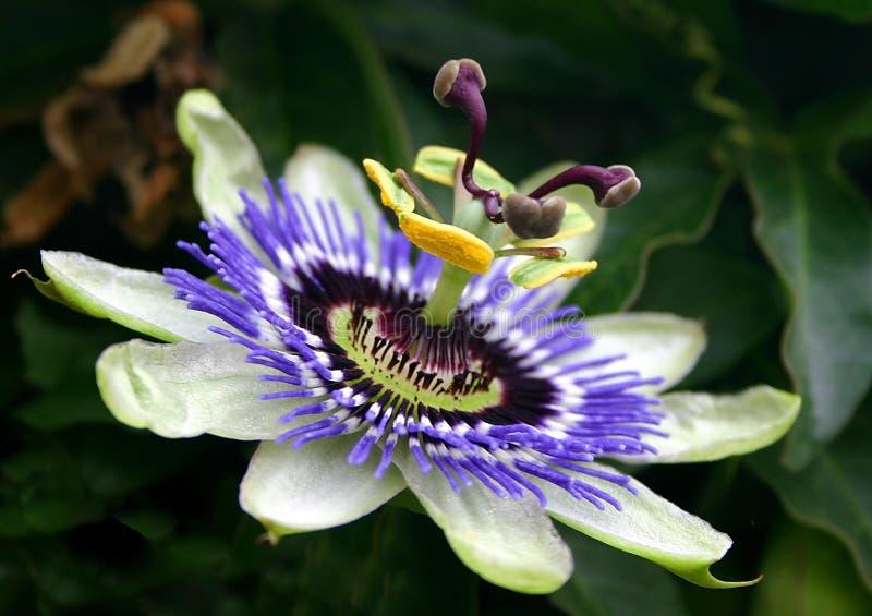Flor azul da paixão foto de stock royalty free