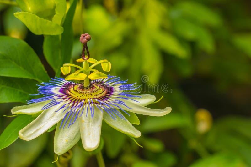 Flor azul da paixão imagens de stock royalty free