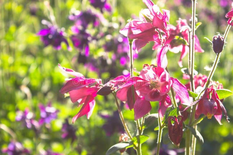 Flor azul de aquilégia europeu Aquilegia vulgaris Fim acima imagens de stock