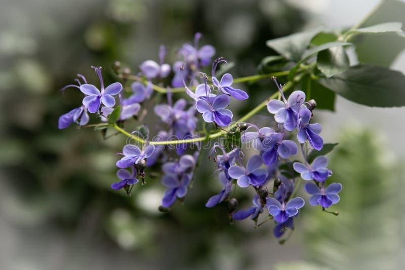 A flor azul de Bush de borboleta ou Glorybower azul, Blue Wings seu nome latino são Clerodendrum Ugandense Syn Rotheca Myricoides foto de stock