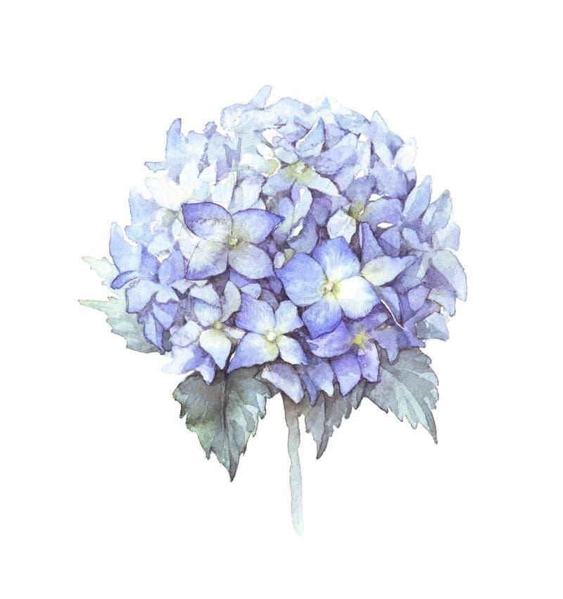 Flor azul de la hortensia de la acuarela fotos de archivo