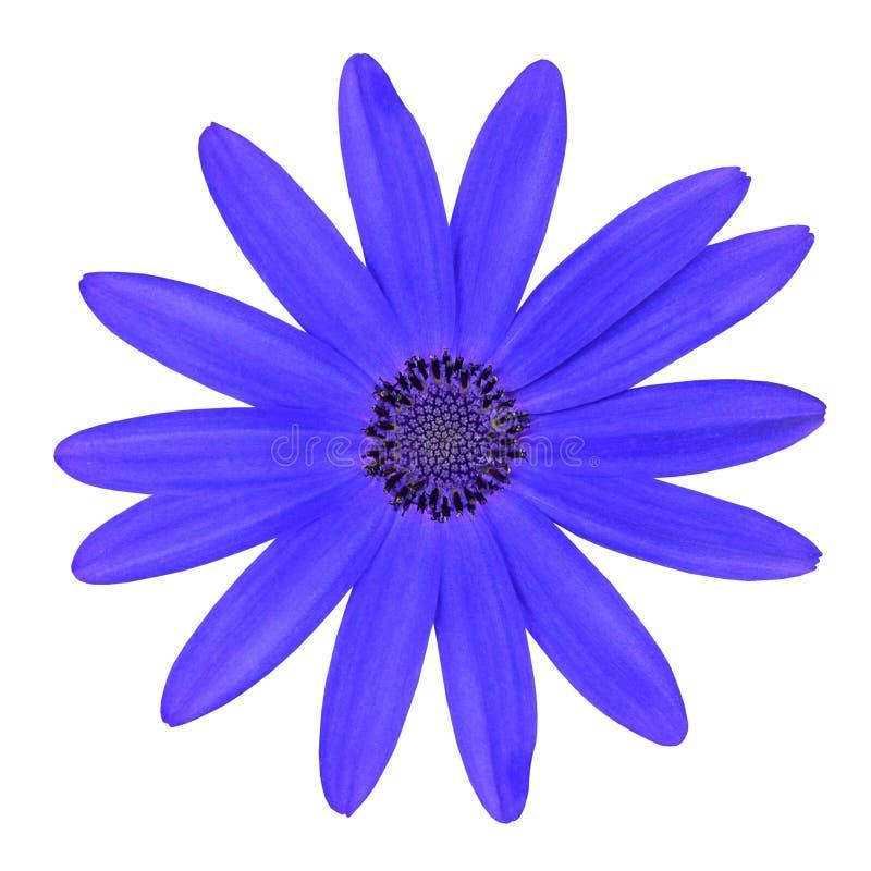 Flor azul de la margarita de Osteosperumum aislada en blanco fotografía de archivo libre de regalías