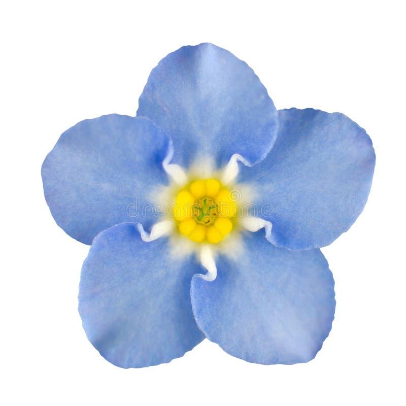 Flor azul de la nomeolvides aislada en blanco imágenes de archivo libres de regalías