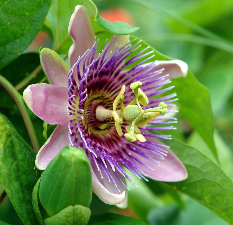 Flor azul de la pasión fotografía de archivo