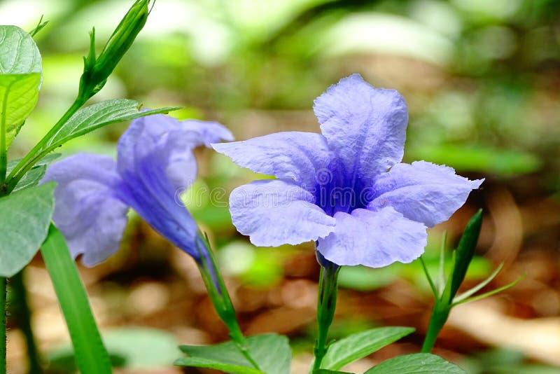 Flor azul de la petunia fotos de archivo