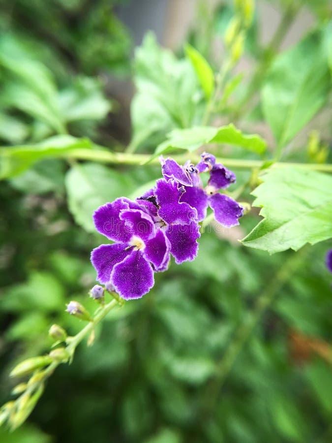 Flor azul de los repens de Duranta imagen de archivo