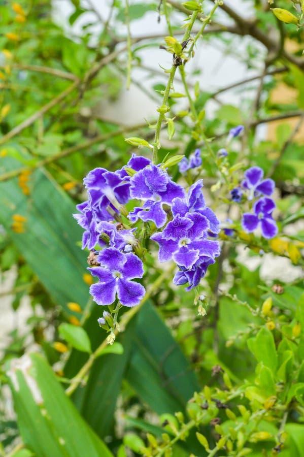 Flor azul de los repens de Duranta foto de archivo