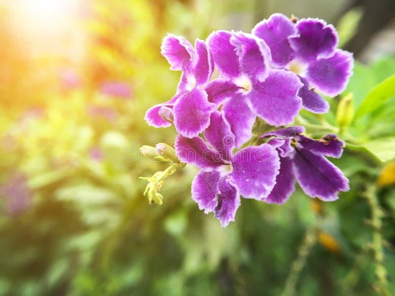 Flor azul de los repens de Duranta en jardín de la naturaleza foto de archivo