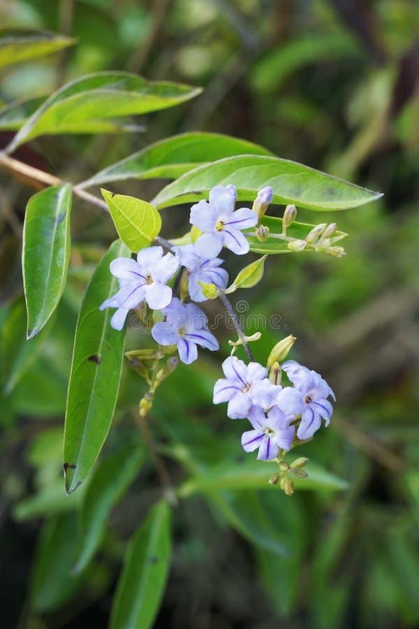 Flor azul de los repens de Duranta en jardín de la naturaleza fotografía de archivo libre de regalías