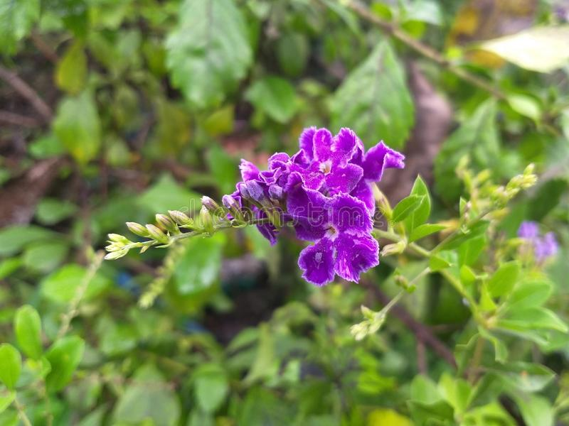 Flor azul de los repens de Duranta en jardín de la naturaleza fotos de archivo