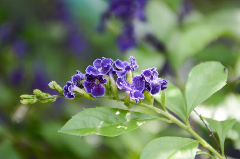 Flor azul de los repens de Duranta en jard?n de la naturaleza foto de archivo