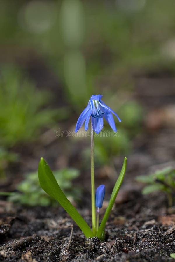 Flor azul de Scilla fotos de archivo libres de regalías