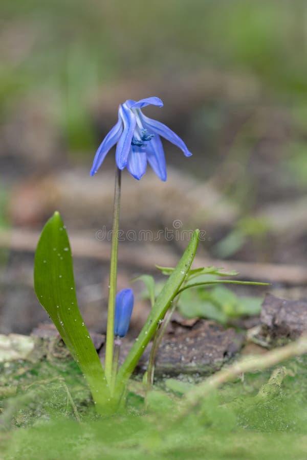 Flor azul de Scilla foto de archivo