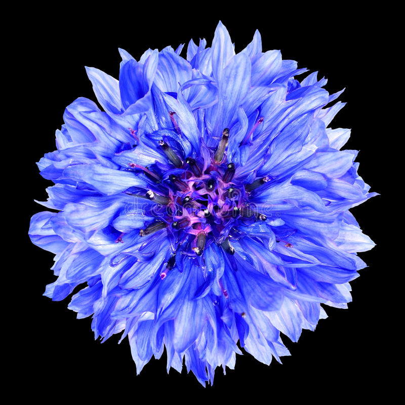 Flor azul del aciano aislada en fondo negro imagen de archivo libre de regalías