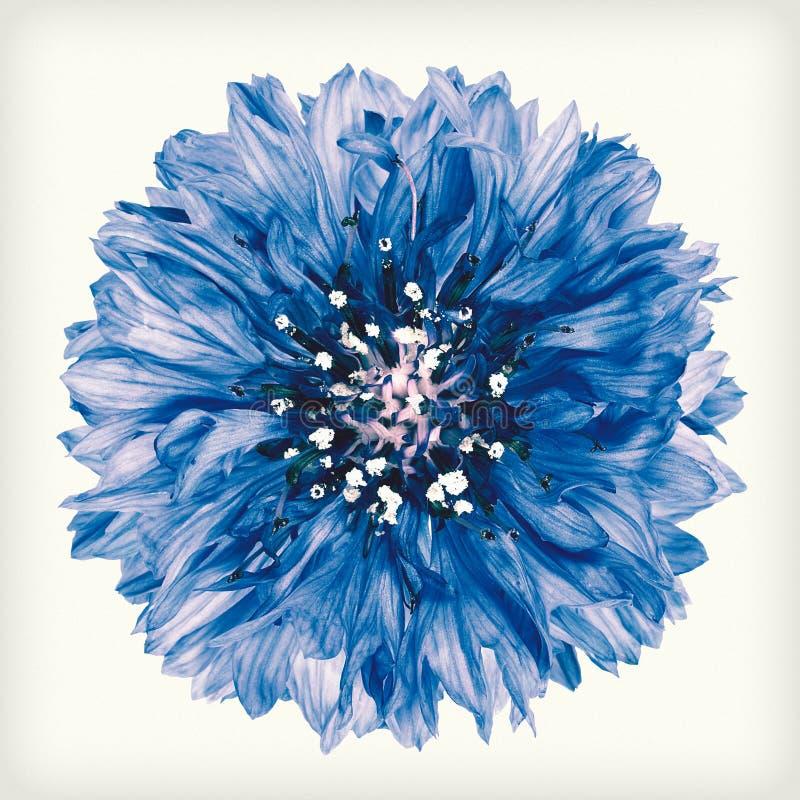Flor azul del aciano del estilo retro del vintage aislada foto de archivo
