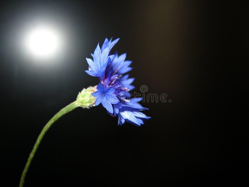 Flor azul del aciano en un fondo negro fotos de archivo