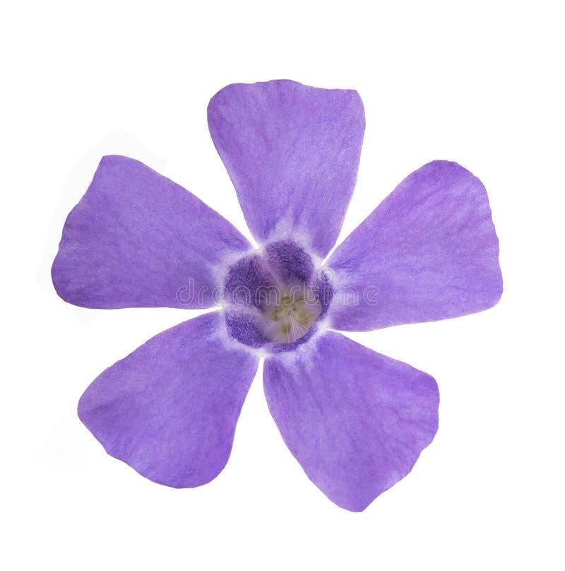 Flor azul del bígaro imágenes de archivo libres de regalías