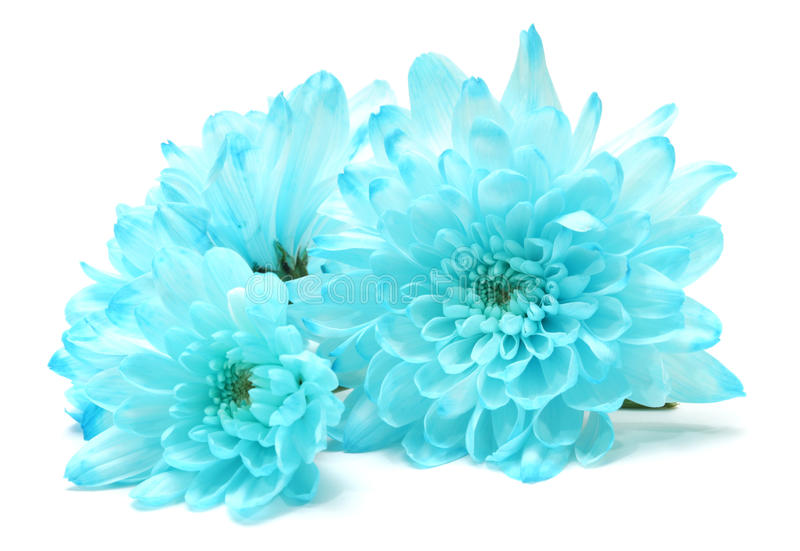 Flor azul del crisantemo foto de archivo