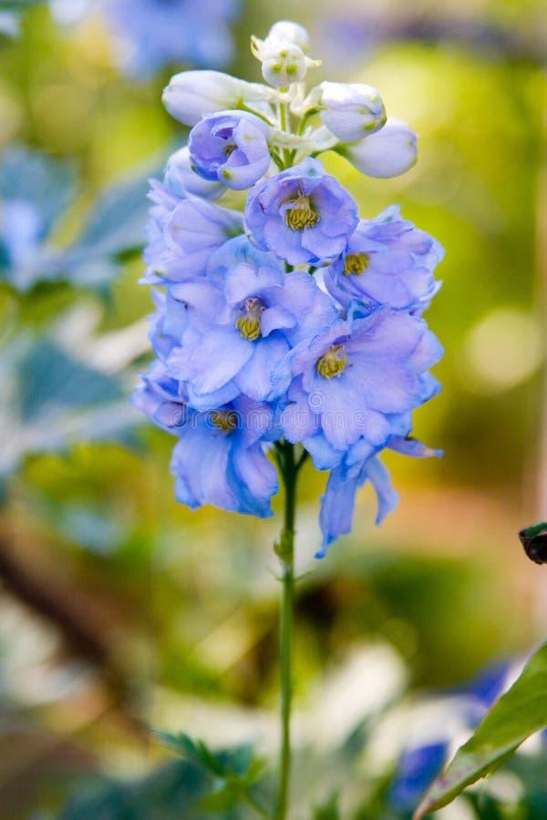 Flor azul del delphinium imagen de archivo