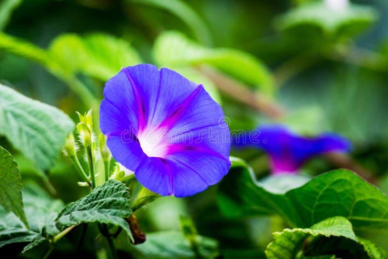 Flor azul del ipomoea de la correhuela en el fondo del leaves_ verde fotos de archivo