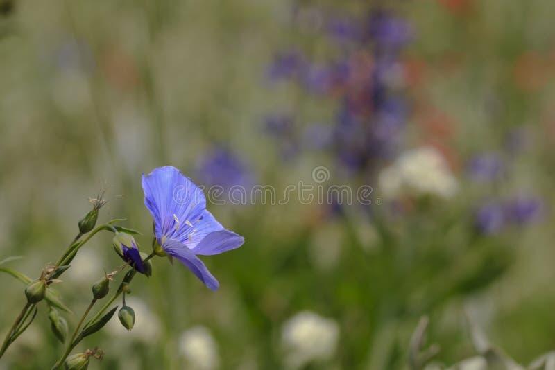 Flor azul del lino contra un fondo borroso imagen de archivo