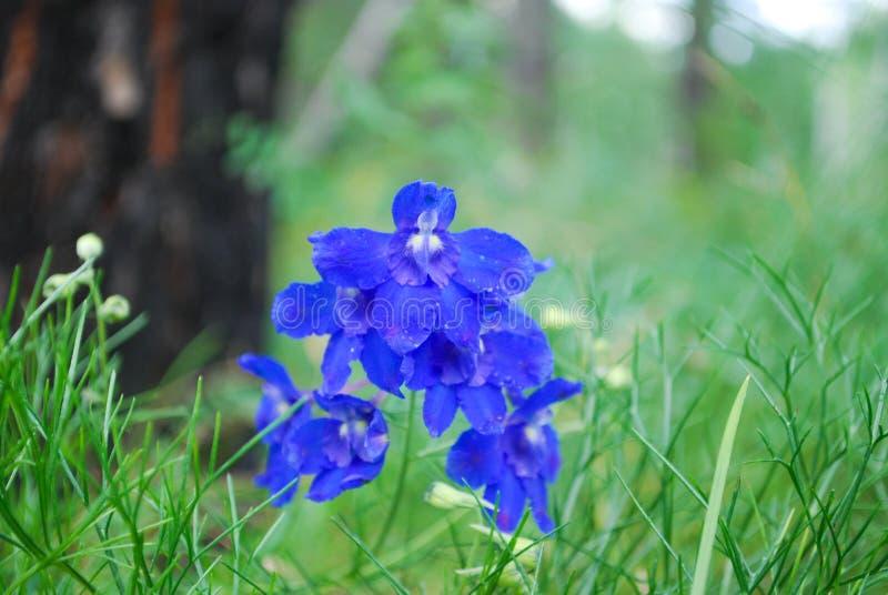 Flor azul del prado fotos de archivo