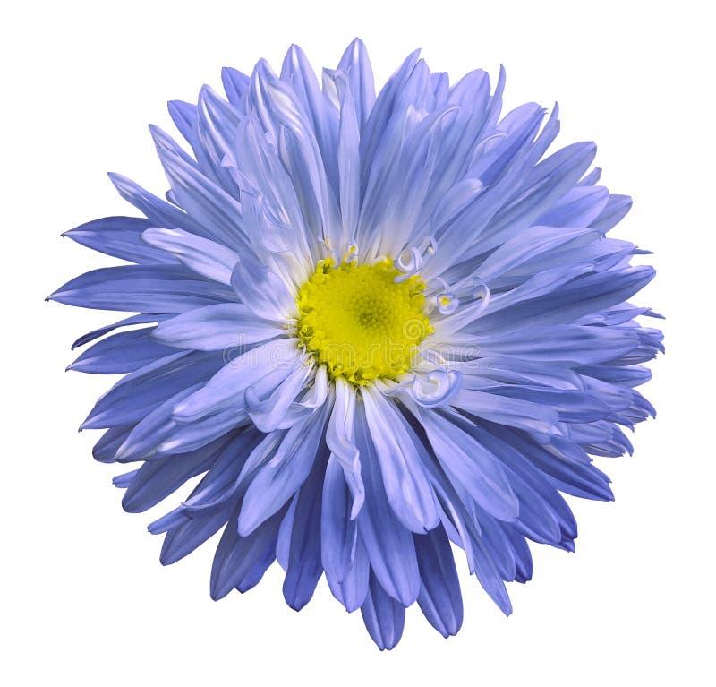 A flor azul do áster em um branco isolou o fundo com trajeto de grampeamento Floresça para o projeto, textura, cartão, envoltório imagens de stock royalty free