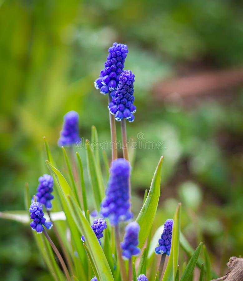 Flor azul do armeniacum de Hyacinth Muscari da uva na flor imagem de stock