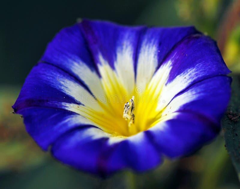 Flor azul do céu de Oxypetalatum imagem de stock royalty free
