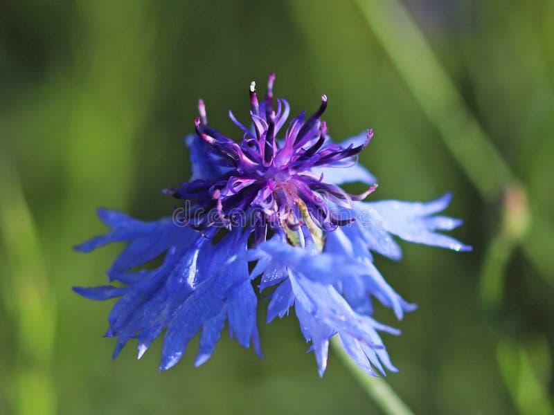 A flor azul do campo em um fundo verde Foto macro de uma planta e de insetos do campo nos raios de luz solar Um morno e agradável imagens de stock royalty free