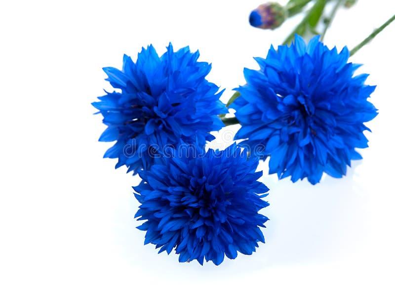 Flor azul do Cornflower fotos de stock royalty free