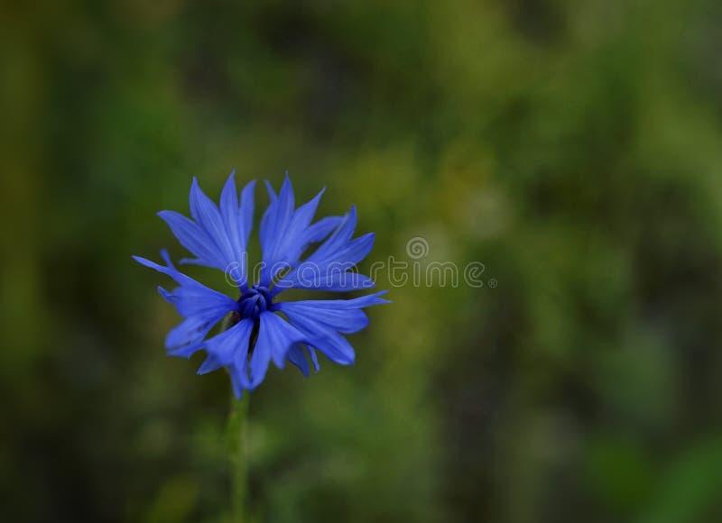 flor azul do fundo do bokeh do verde da flor do close-up da centáurea exterior fotos de stock royalty free