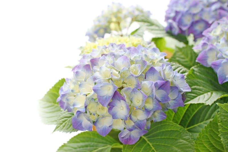 Flor azul do hydrangea foto de stock