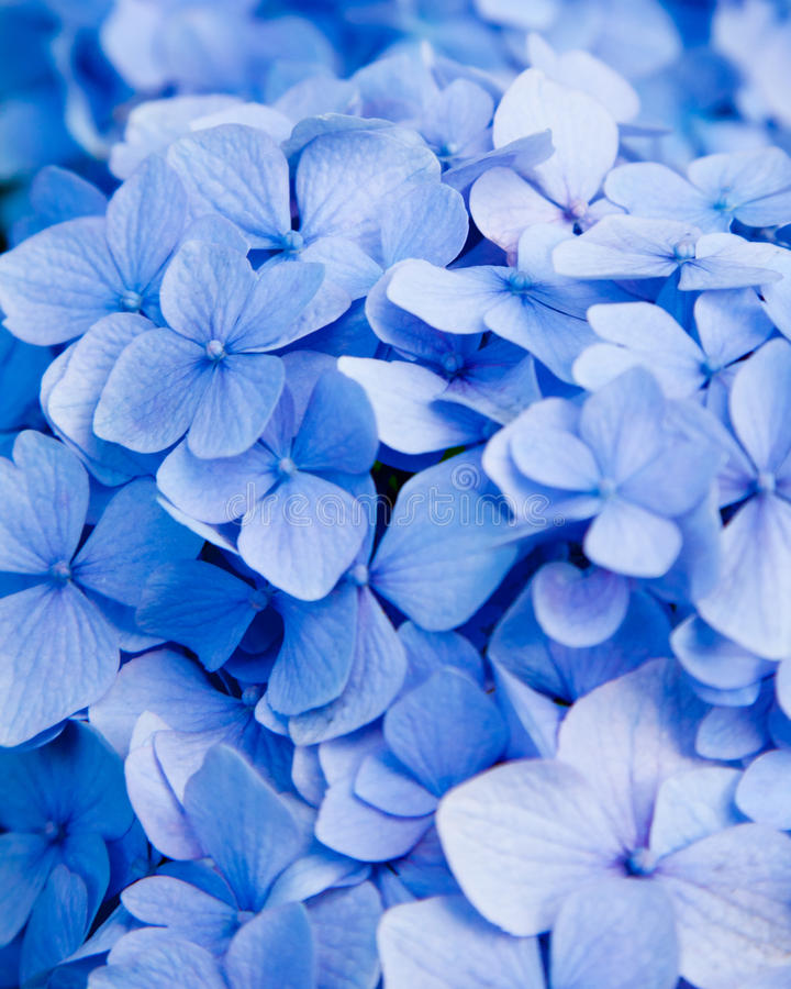 Flor azul do hydrangea foto de stock