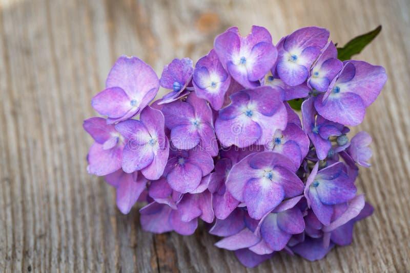 Flor azul do hydrangea fotos de stock