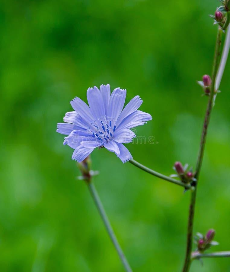Flor azul do intybus do Cichorium, fim acima, fundo verde do bookeh imagem de stock