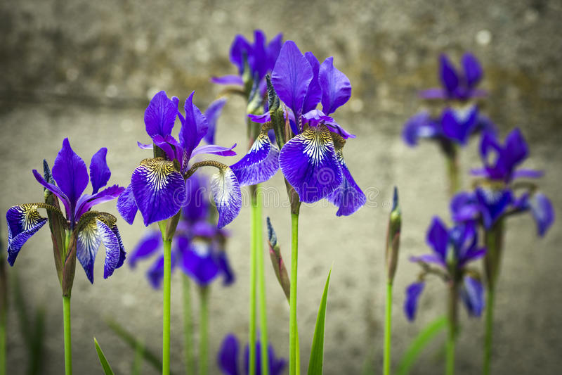 Flor azul do lírio imagens de stock royalty free
